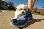 Picture of Maltese x Shih Tzu - MalShi puppy for sale