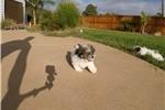 Picture of MalShi puppy for sale - Maltese x Shih Tzu