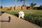 Picture of SUPER CUTE female ACA Maltese puppy !!