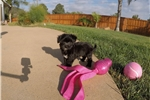 Picture of SUPER TINY female Morkie puppy for sale
