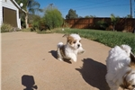 Picture of Parti Morkie puppy for sale - Maltese x Yorkie
