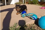 Picture of Male ACA Registered Yorkshire Terrier puppy 4 sale