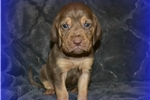 Picture of AKC Bloodhound Puppy