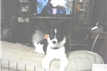 Picture of Papillon Puppies Male and Female Available Now!