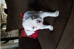 Picture of NKC American Bulldog