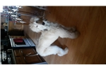 stunning white Domino | Puppy at 13 months of age for sale