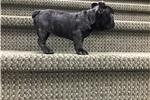 Picture of CUTE CUTE CUTE Brindle Female French Bulldog