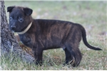 Picture of Brindle Mal