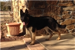 Picture of German Shepherd Puppy Male