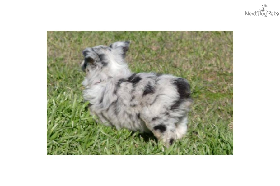 Australian Shepherd Puppies For Sale Near Oklahoma City Design   Dog ...