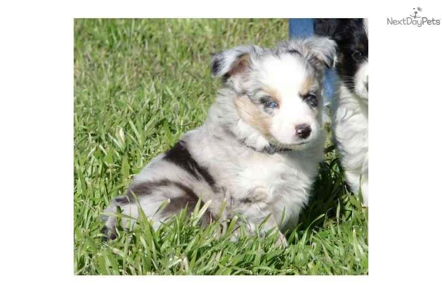 Miniature Blue Merle Female 17 | Dog Breeds Picture