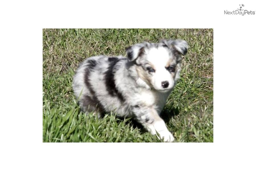 Australian Shepherd puppy for sale near Oklahoma City, Oklahoma ...