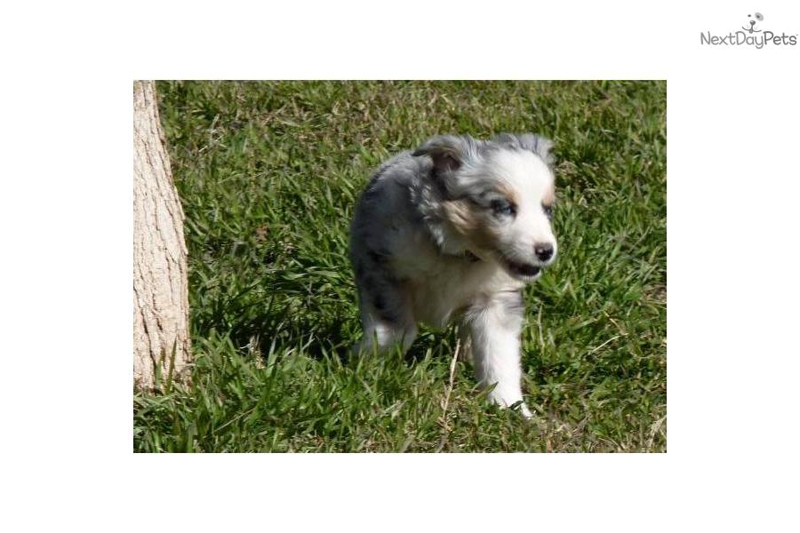Australian Shepherd puppy for sale near Oklahoma City, Oklahoma