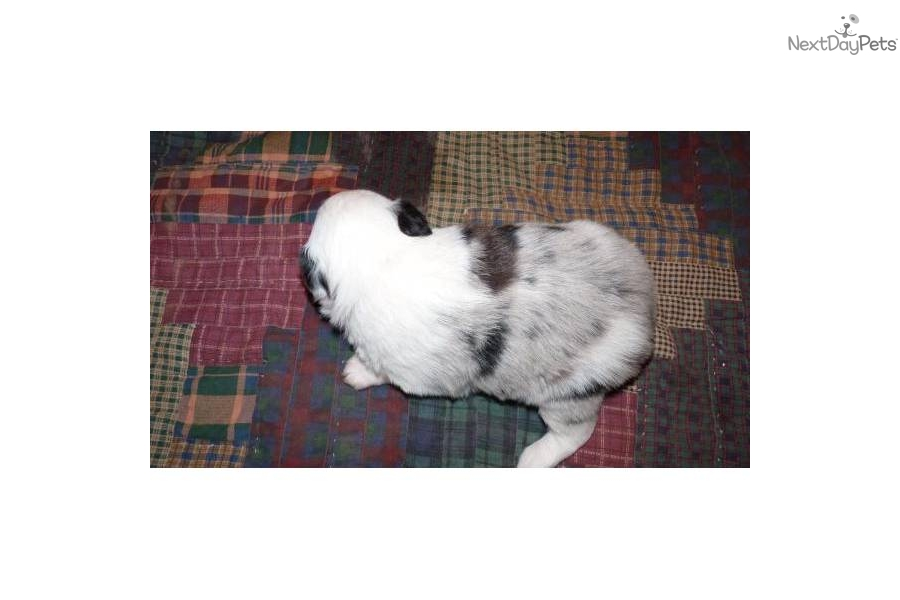 Australian Shepherd Puppies For Sale Near Oklahoma City ...