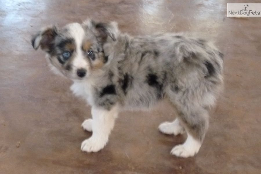 Miniature Australian Shepherd Puppies For Sale In Oklahoma | Dog ...