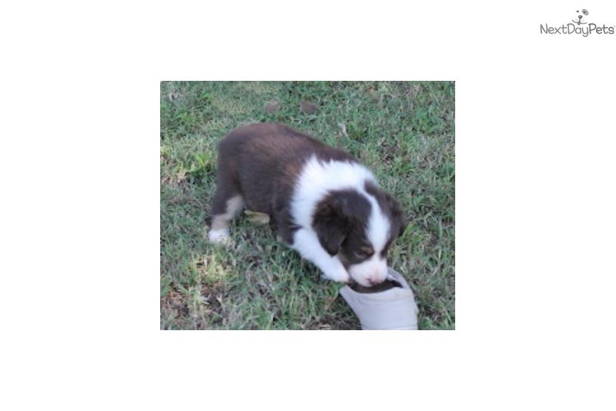 Marlin Rtm: Miniature Australian Shepherd puppy for sale ...