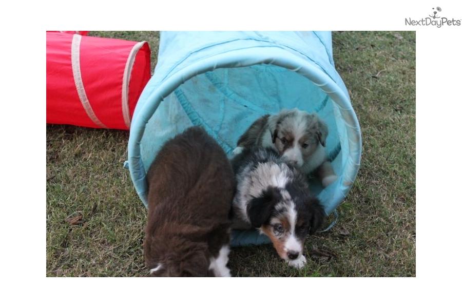 Australian Shepherd Puppies For Sale Near Oklahoma City Image | Dog ...