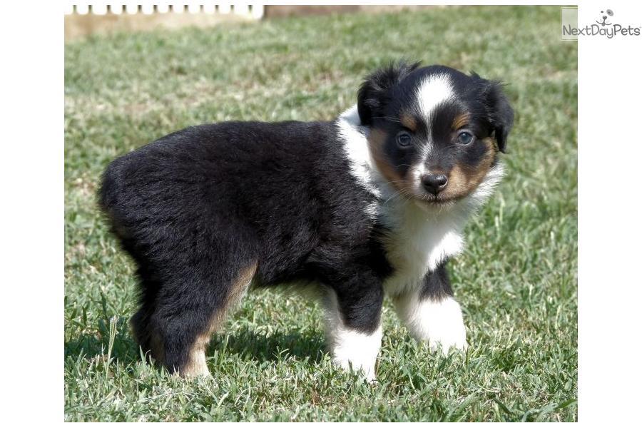 Miniature Australian Shepherd Puppies For Sale In Oklahoma | Apps ...