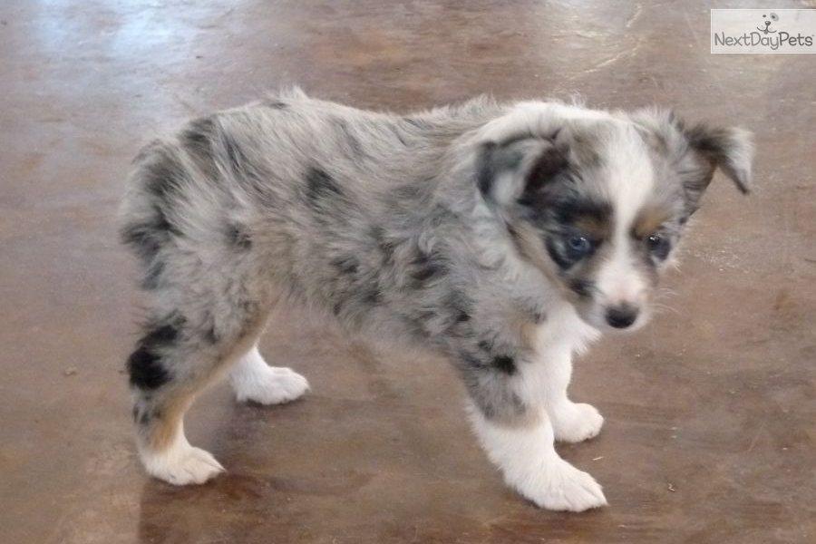 Mini Australian Shepherd Puppies For Sale In Oklahoma | Dog Breeds ...