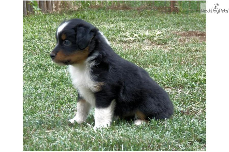 Australian Shepherd puppy for sale near Oklahoma City, Oklahoma ...
