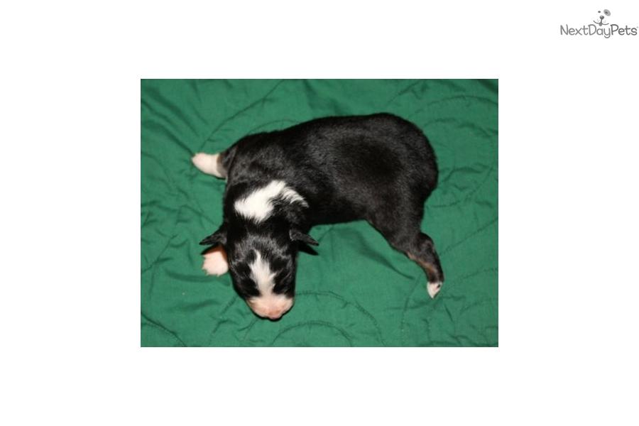 Gem: Miniature Australian Shepherd puppy for sale near ...