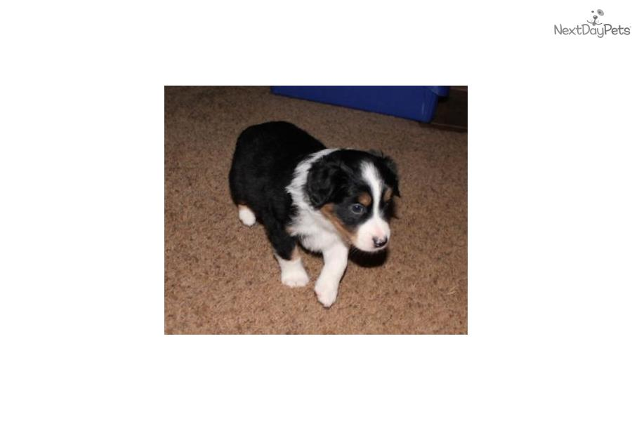Litter Born 1-28-15: Miniature Australian Shepherd puppy ...