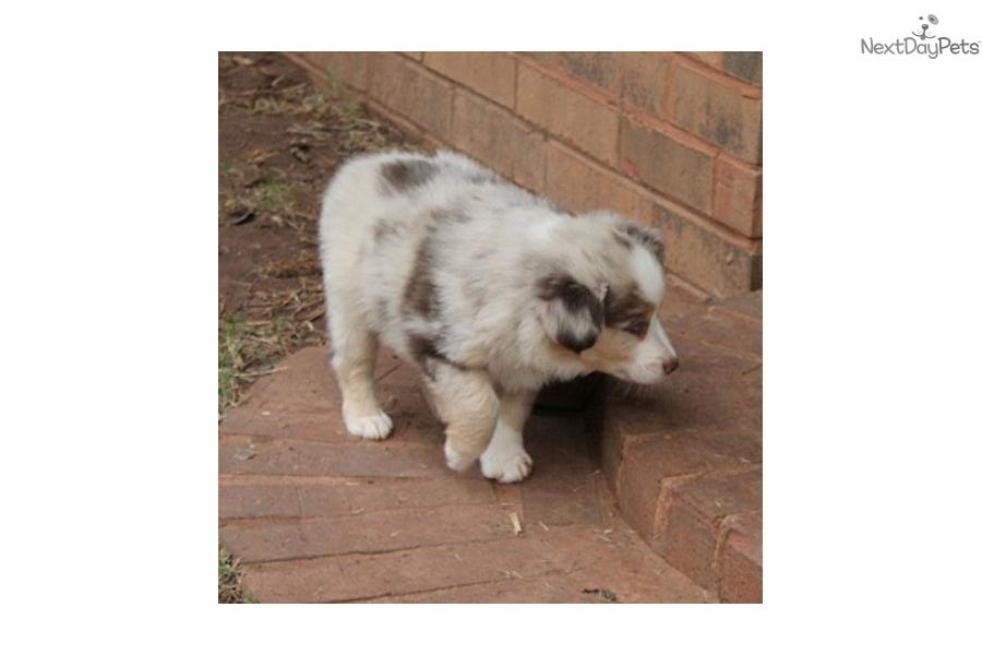 Australian Shepherd Puppies For Sale Near Oklahoma City | Dog Breeds ...