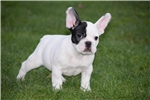 Picture of Black Pied French Bulldog Puppy