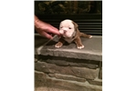Picture of Olde English Bulldogge puppy