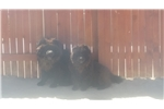 Picture of Beautiful CKC registered Chow Pups