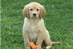 Golden Retrievers for sale