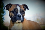 Olde English Bulldogges for sale