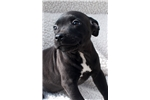 Picture of AKC Staffordshire Bull Terrier Black Female