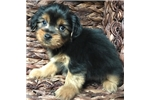 Picture of chorkie