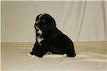 Picture of AKC Registerable Newfoundland