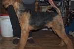 Picture of Airedal terrier puppy