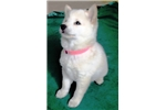 Cute, smart, so loving.8 weeks old, SHIBA INU PUPS | Puppy at Available soon of age for sale