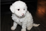 Picture of maltipoo - madison