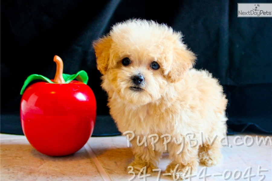 Pierre Bich Poo Bichpoo Puppy For Sale Near Hudson