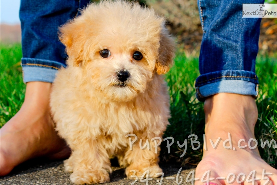 Pierre Bich Poo Bichpoo Puppy For Sale Near Hudson Valley New York Bd5cd045 45d1