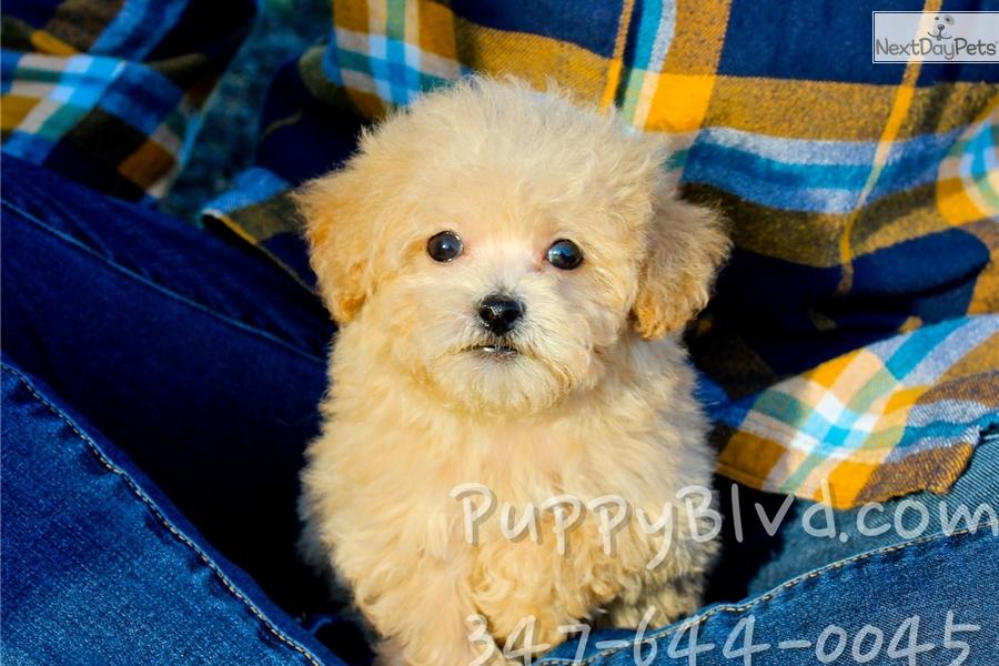 Pierre Bich Poo Bichpoo Puppy For Sale Near Hudson Valley New York Bd5cd045 45d1