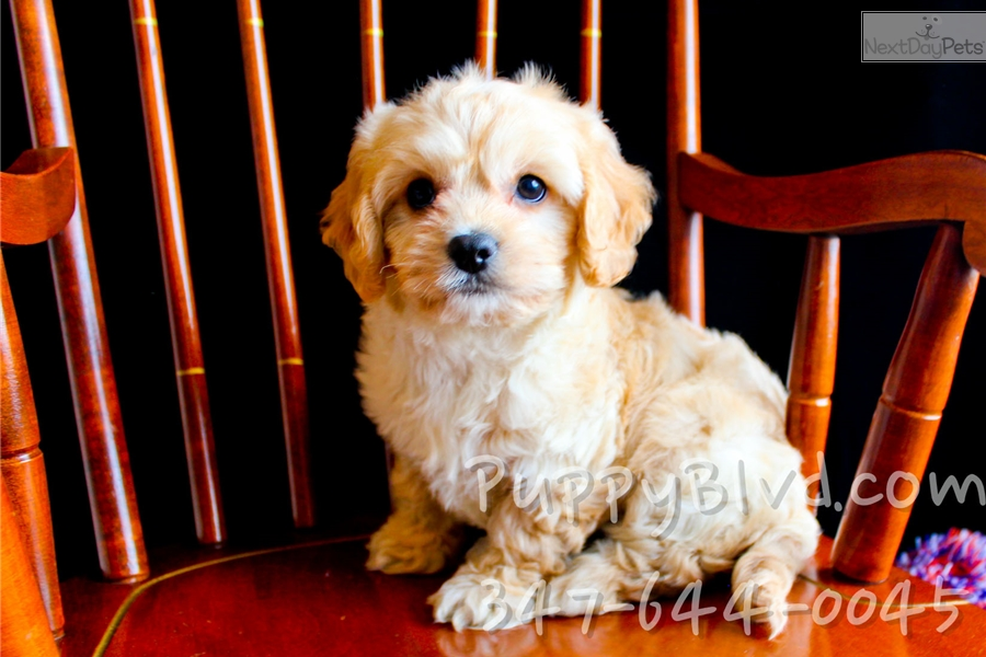 Cheyenne Cavachon Puppy For Sale Near Hudson Valley New York 8829171a B301