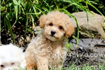 Picture of Tiny Bich-poo F Puppy-- Apricot for sale *VIDEO