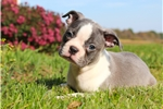 Picture of Exotic Blue Boston Terrier Female Puppy For Sale!