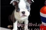 Picture of Beautiful Blue Boston Terrier Male Puppy For Sale
