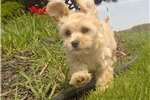Picture of Cheyenne, the female Apricot CavaChon Puppy in NY!