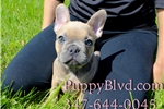 GORGEOUS BLUE Tan French Bulldog Male PUPPY!  | Puppy at 9 weeks of age for sale