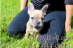 Picture of GORGEOUS BLUE Tan French Bulldog Male PUPPY!