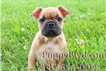Picture of HANDSOME Orange Sable FRENCHIE MALE PUPPY! AKC REG