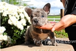 Picture of AKC Exotic Blue Merle Frenchie Female Puppy!